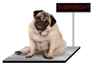 001-overweight-dog