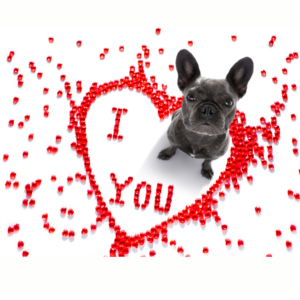 valentines frenchie