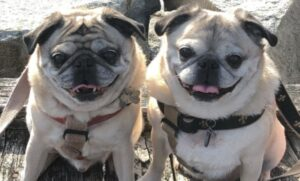 two-pugs
